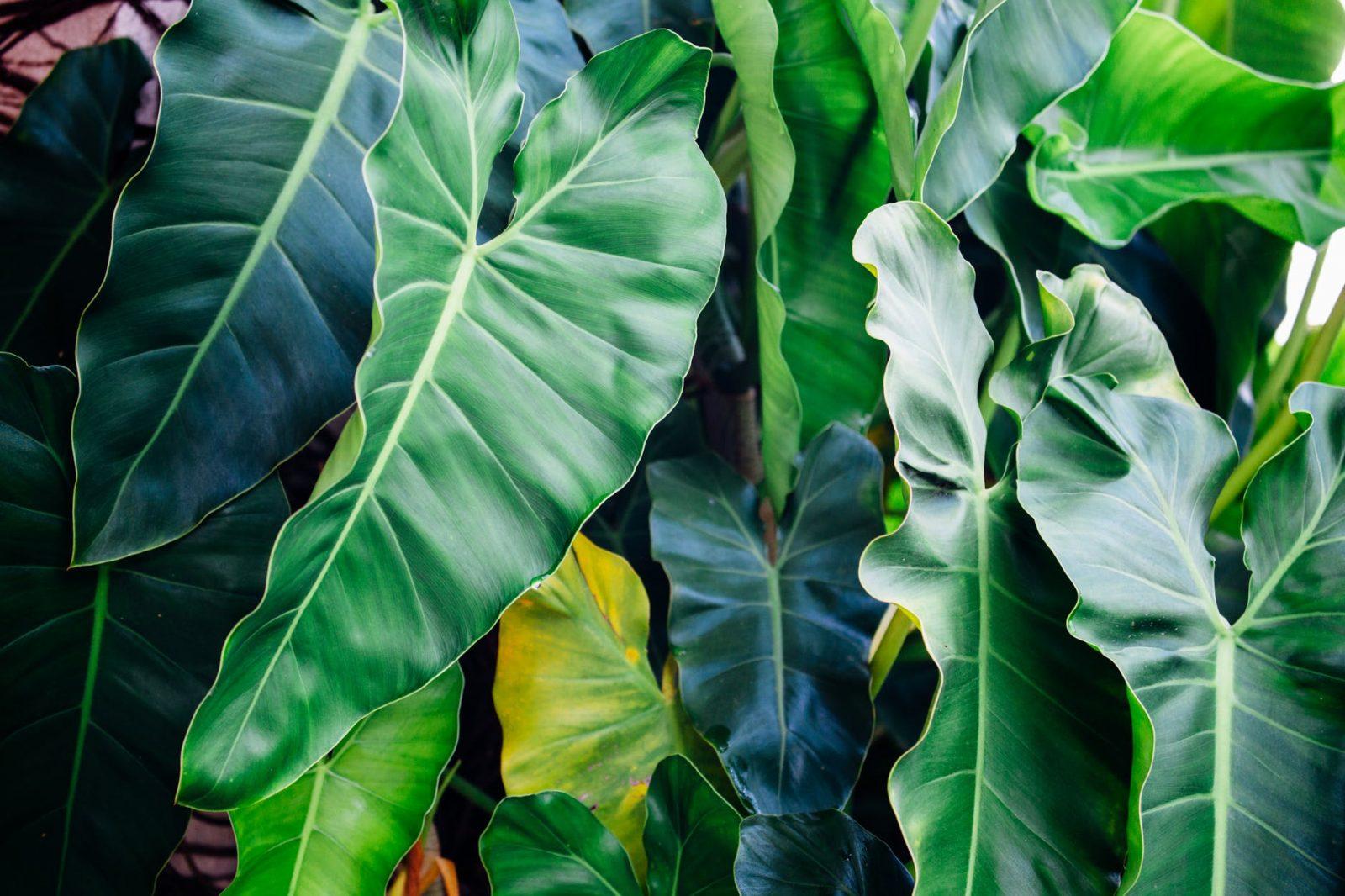 close up photo of taro plant