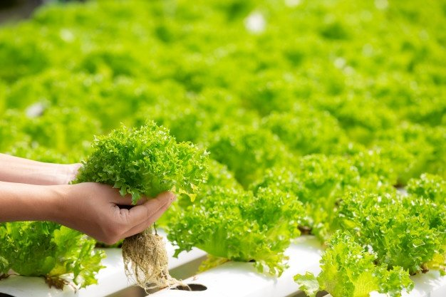 hydroponics-system-planting-vegetables-herbs-without-using-soil-health