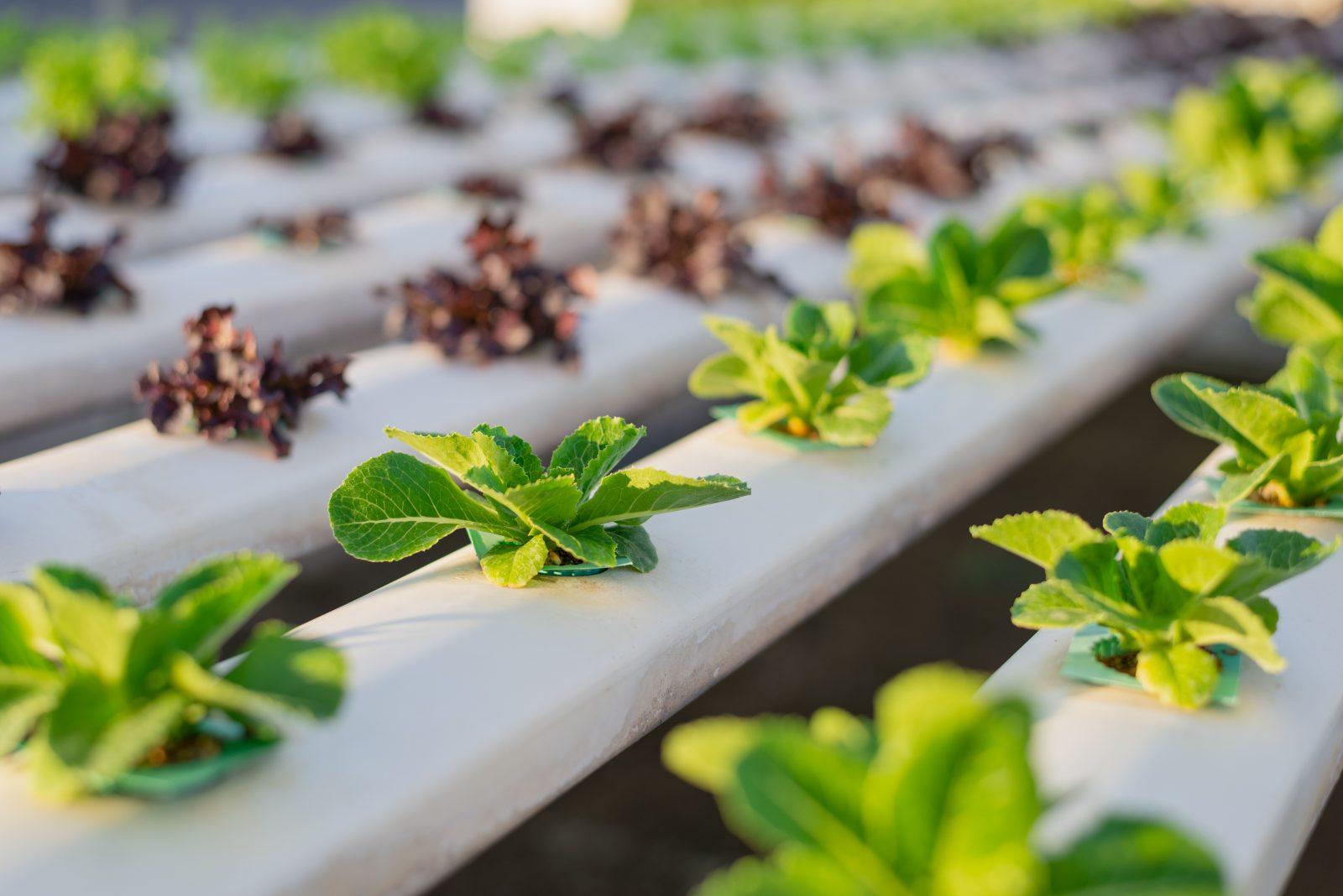 Hydroponics,Organic fresh harvested vegetables,Farmers working w