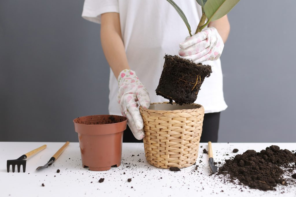 re planting a root bound plant scaled