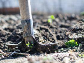 Shoveling fertilizer on plants