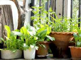 Vegetables Growign in Pots