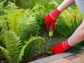 garden fungas gnat