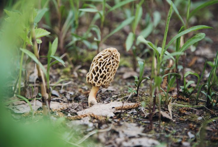 Morel-Mushrooms-How-to-Grow