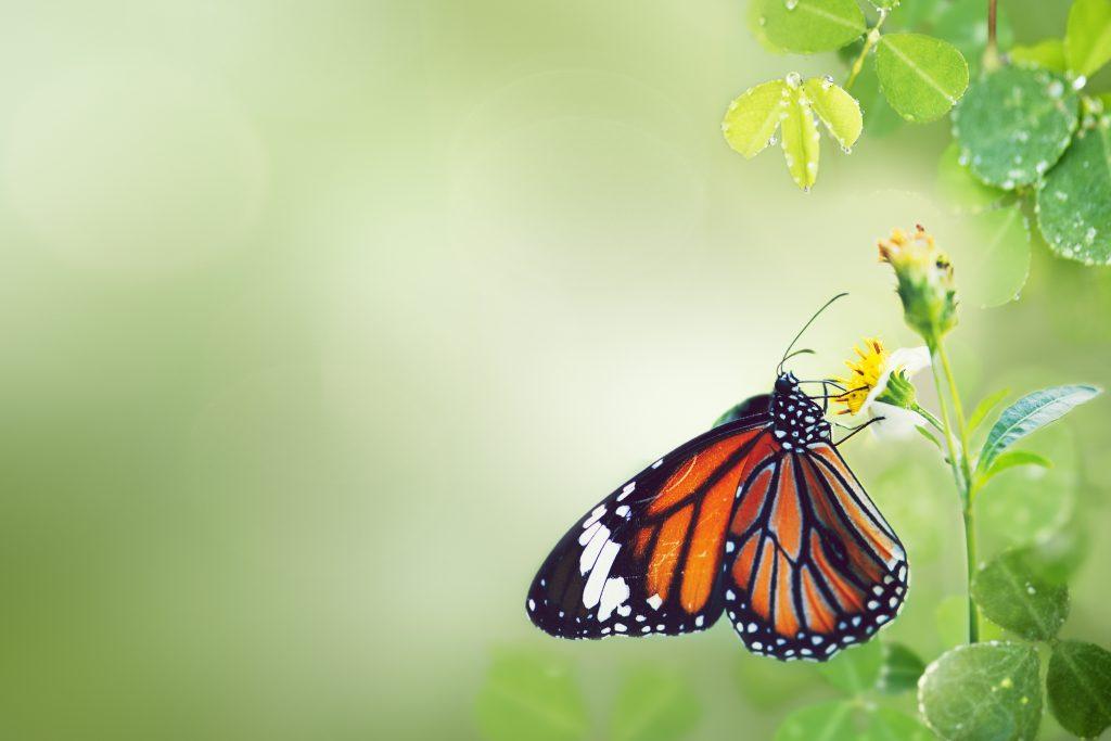 Buttefly-in-garden