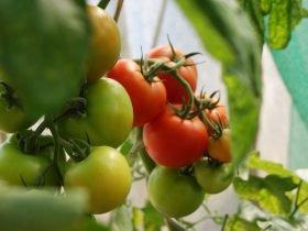 Tomato-Plants